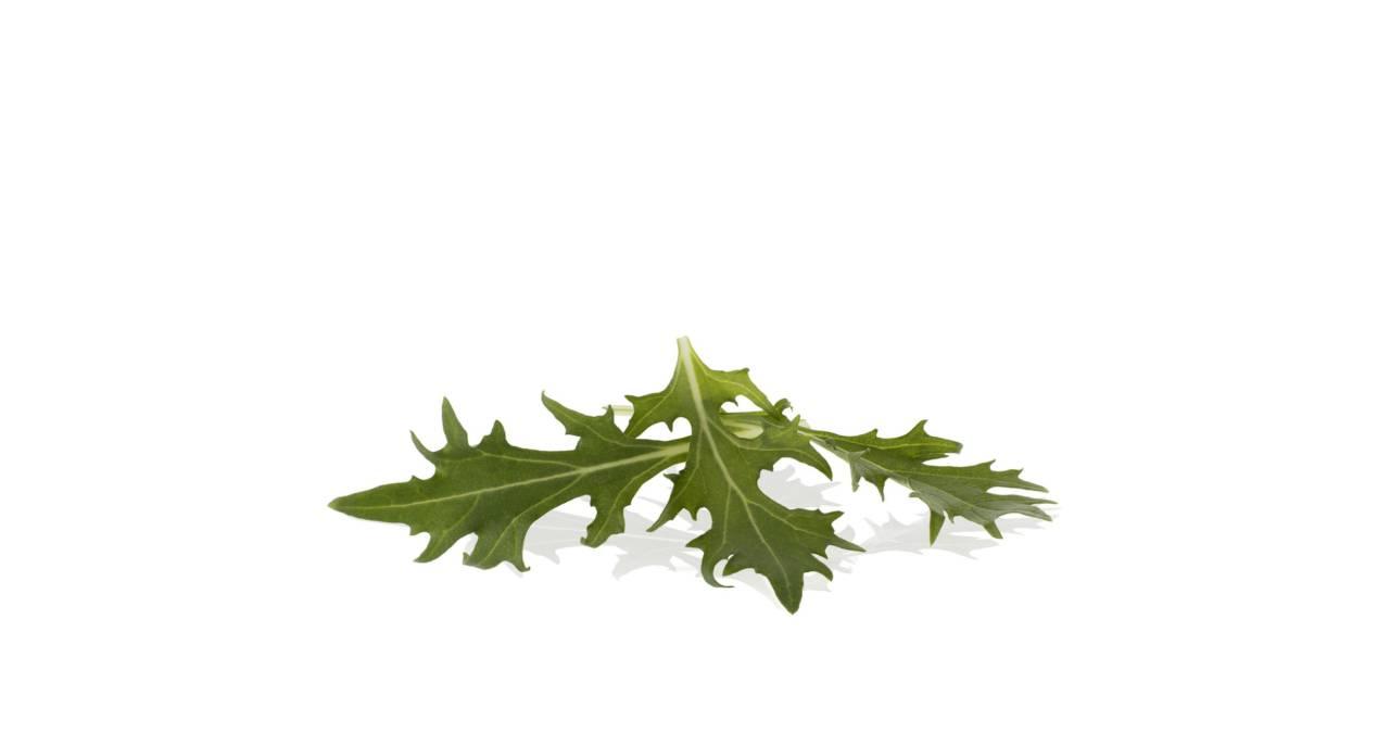 Baby Leaf Lollo verde