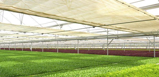 La verdura china de Reino Unido se cultiva en Almería